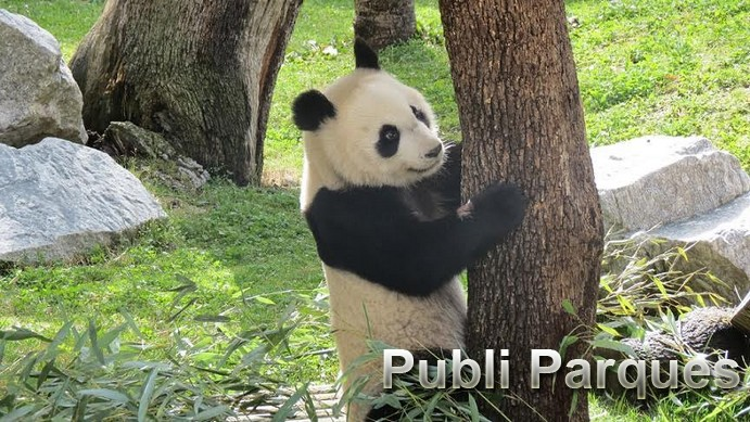 Chulina Panda Gigante