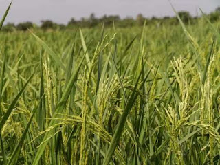 NCDEX to add basmati paddy in the Grain Basket