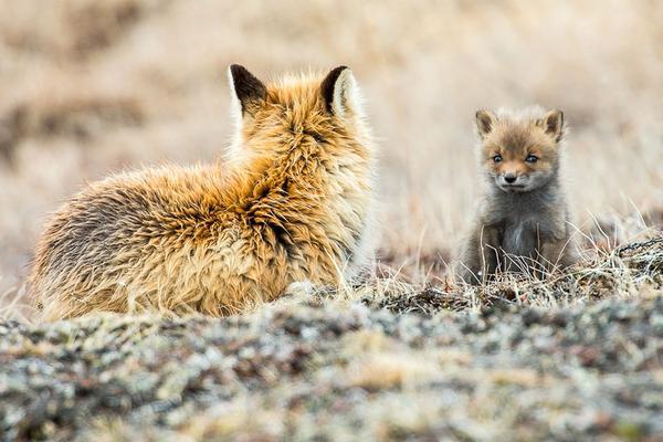 Khoảnh khắc yên bình tuyệt đẹp của loài cáo trong mùa đông lạnh giá