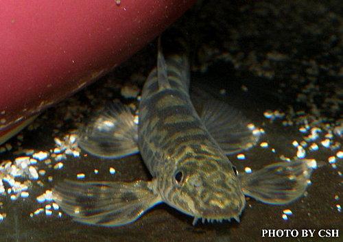 金魚快訊部落格Goldfish message blog: 臺灣纓口鰍(Crossostoma lacustre)