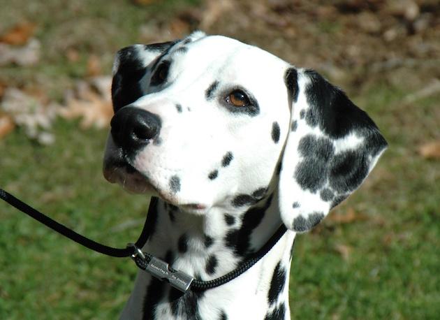 395f4db967a3 Ανακαλύφθηκε γονίδιο που σχετίζεται με το ARDS σε σκύλους Δαλματίας.