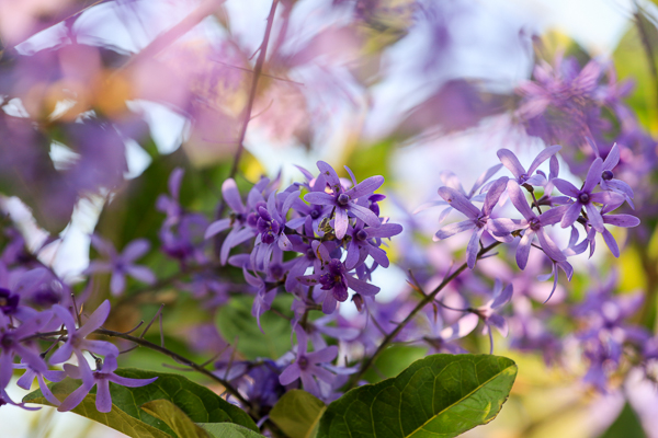 中寮671茶花園許願藤花牆紫色浪漫,新種的錫葉藤隧道也很好拍