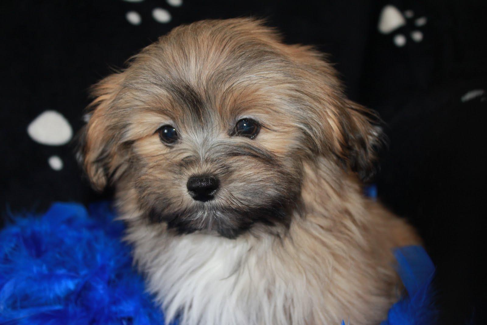 Bolonka Treasures Puppy Page Gallery Puppy Photos