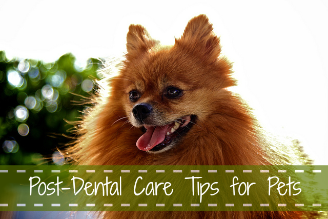 Post-Dental Care Tips for Pets