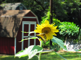 a butterfly on a sunflower in front of a red barn.