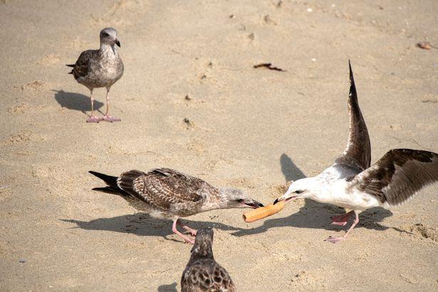 Seagulls, Dildo