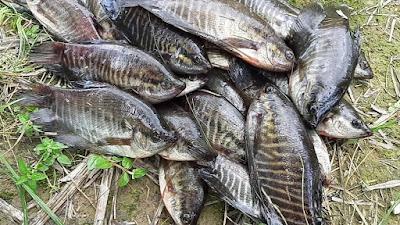 Budidaya Ikan Sepat