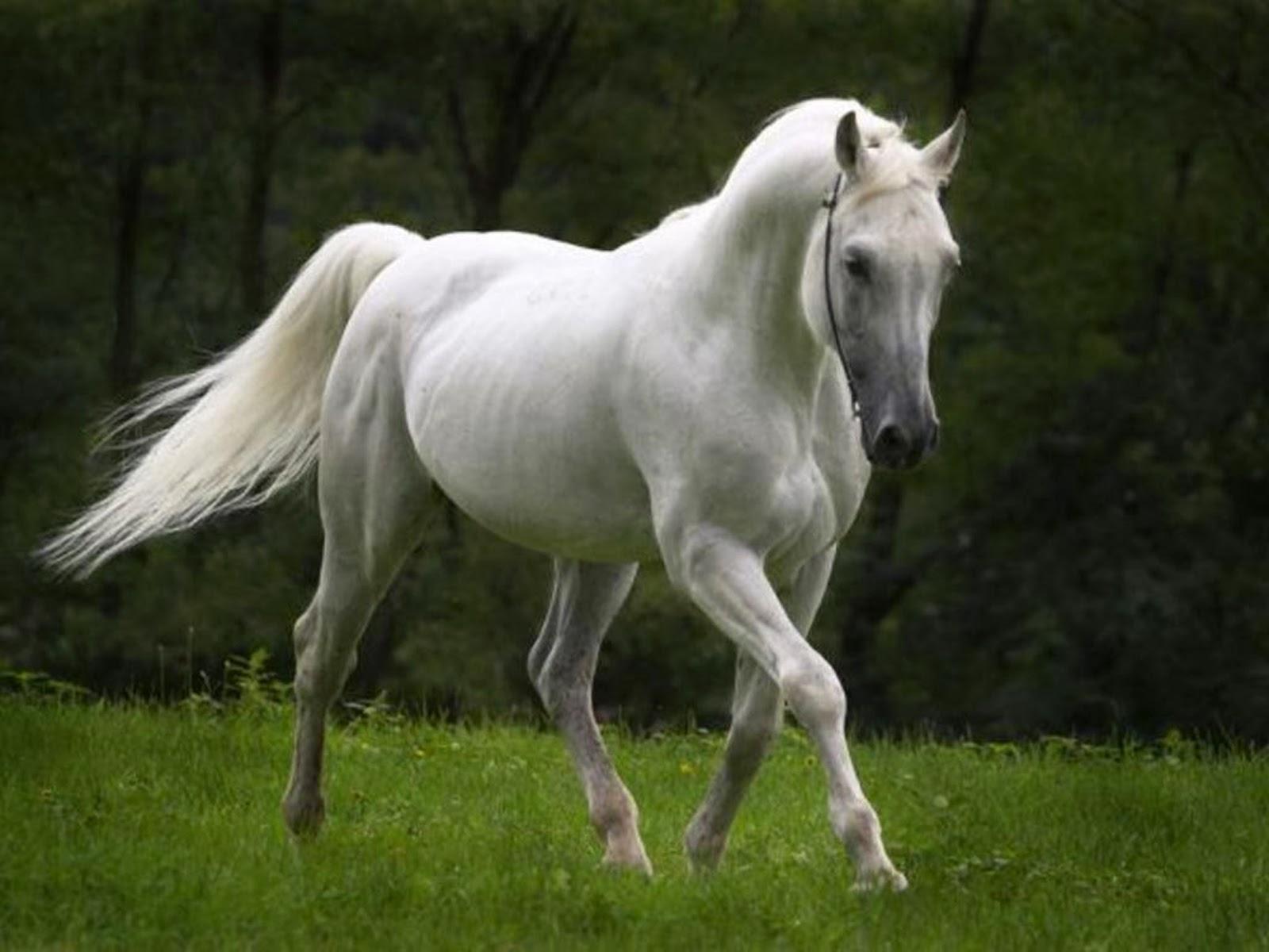 Wildlife Hd Wallpapers: Beautiful Horses HD Wallpapers 2014