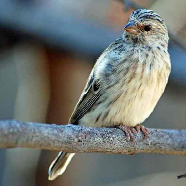 gambar burung blacktharoat