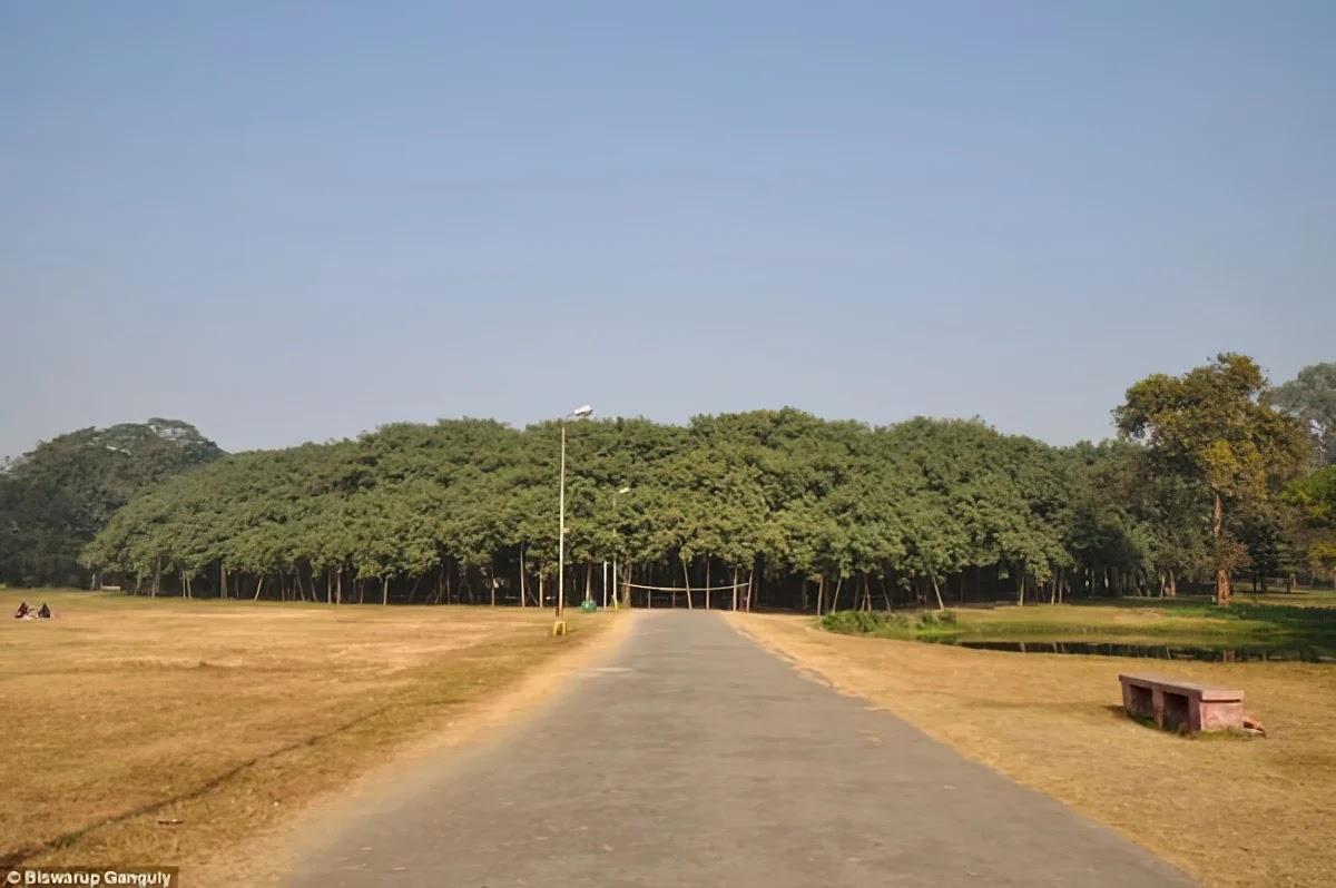 Cây đa The Great Banyan 250 tuổi và có tán cây bao phủ diện tích rộng khoảng 14.400m2