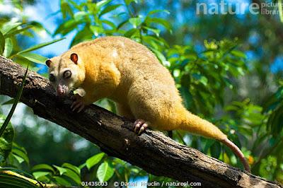 Cuscus común norteño (Phalanger orientalis)