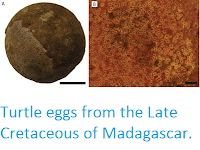http://sciencythoughts.blogspot.co.uk/2015/10/turtle-eggs-from-late-cretaceous-of.html