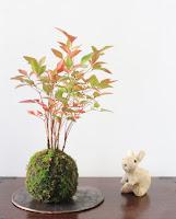 色づく葉のナンテンの苔玉と信楽焼のうさぎの人形