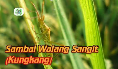 Walangsangit hama tanaman padi.
