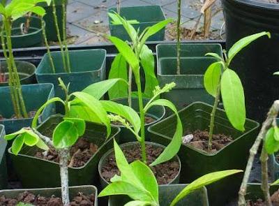 نباتات طاردة للبعوض