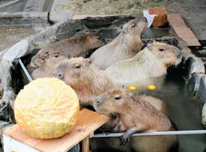 露天風呂カピバラ湯 ゆず湯とカボチャ