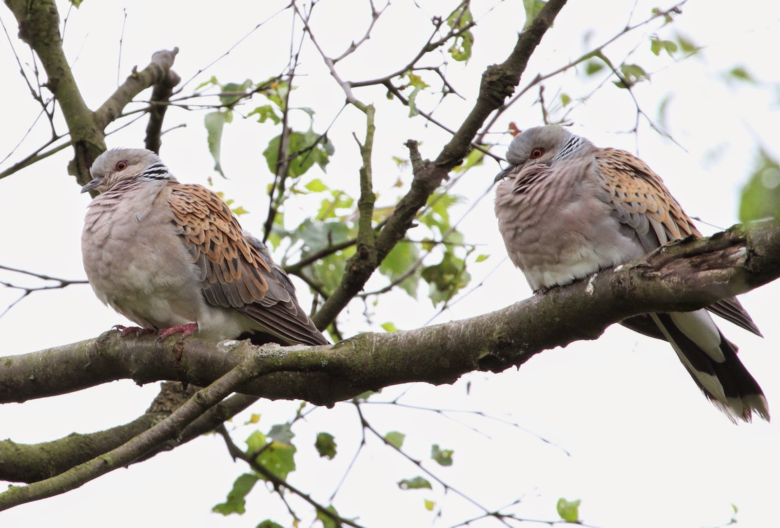 Lapland: Butterflies To Turtle Doves