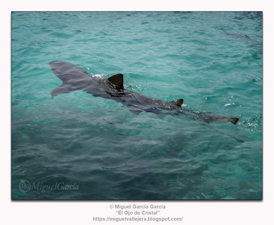 Tiburones. Mar Caribe Colombiano.