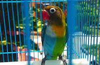 Lovebird halfsider (HS)