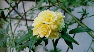 hoa hồng mân côi nở vào mùa xuân