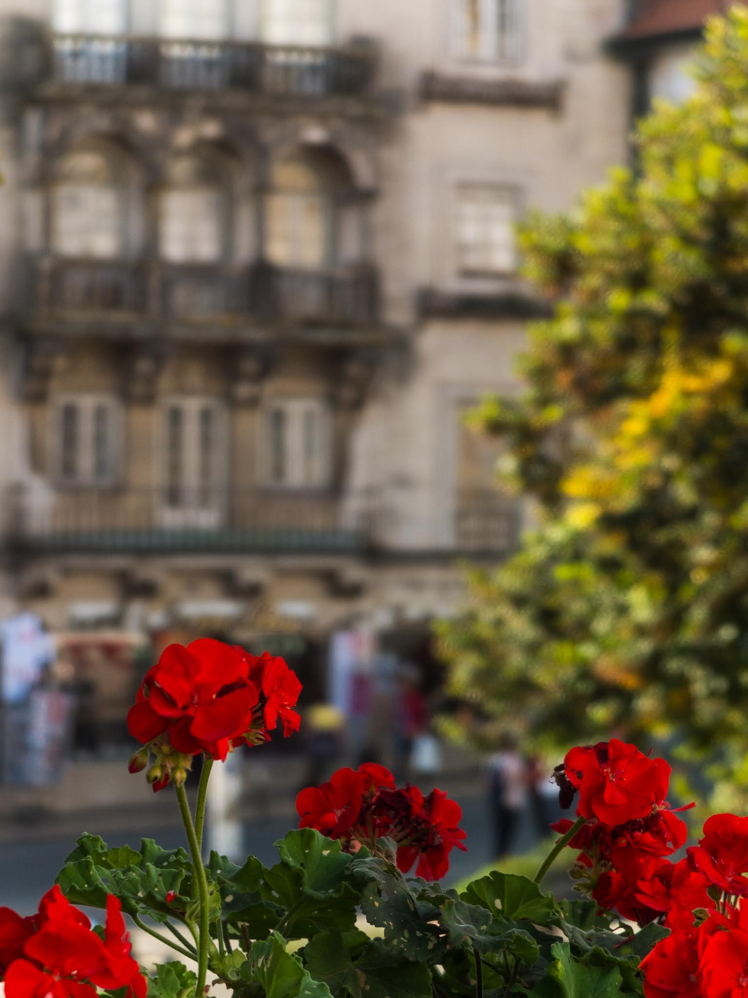 A close up of red Geraniums in front of a building in Sintra.
