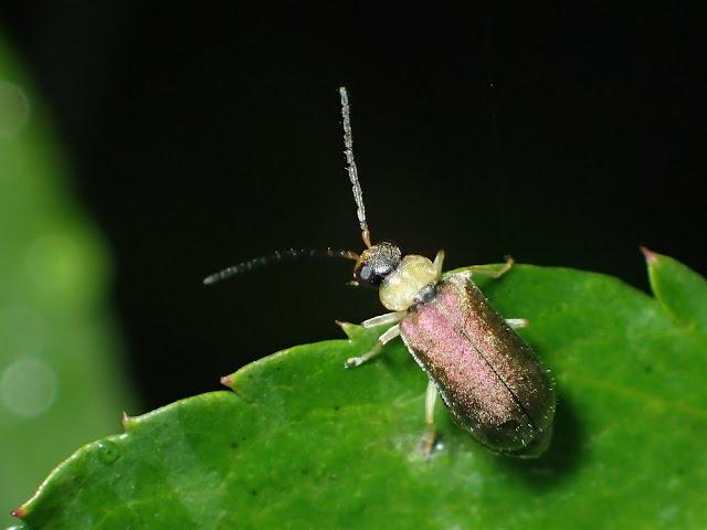 Apophylia sp