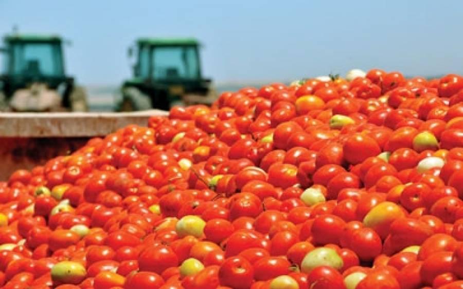 Mε μειωμένες αποδόσεις ξεκίνησε η συλλογή βιομηχανικής ντομάτας στη Θεσσαλία