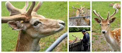 New Zealand Deer and Farm Animals at Paradise Valley Springs Wildlife Park Rotorua New Zealand