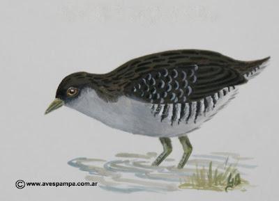 aves argentinas Burrito overo Porzana spiloptera