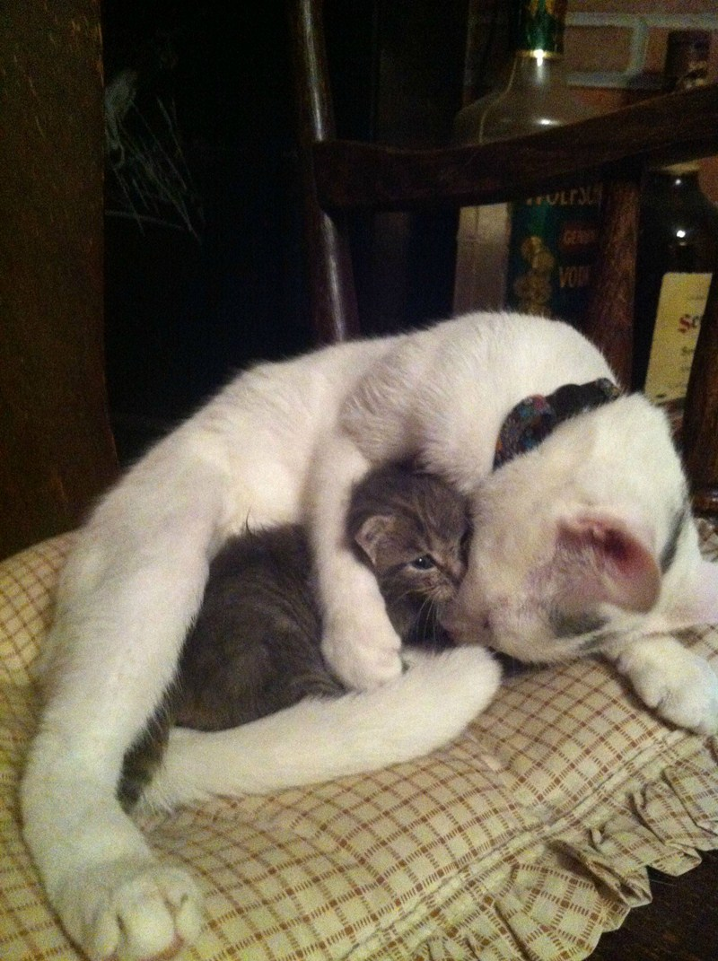 funny cats, cute cat pictures, cat hugs a little kitten