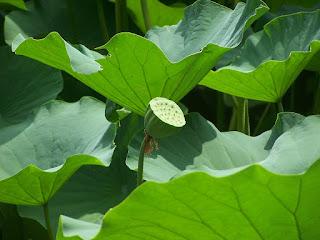 cara-menanam-biji-lotus.jpg