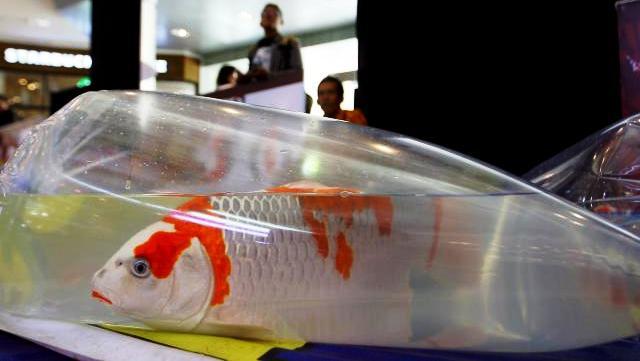 Cara Mengirim Ikan Hias Dengan Aman Selamat Sampai Tujuan