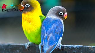 Beli Satu Pasang Lovebird yang Akan Di Jodohkan