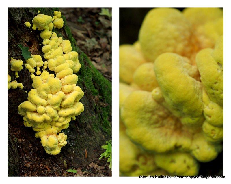 grzyby jadalne, grzybobranie, rezerwat, jak pianka montazowa, grzyb, kurczak lesny
