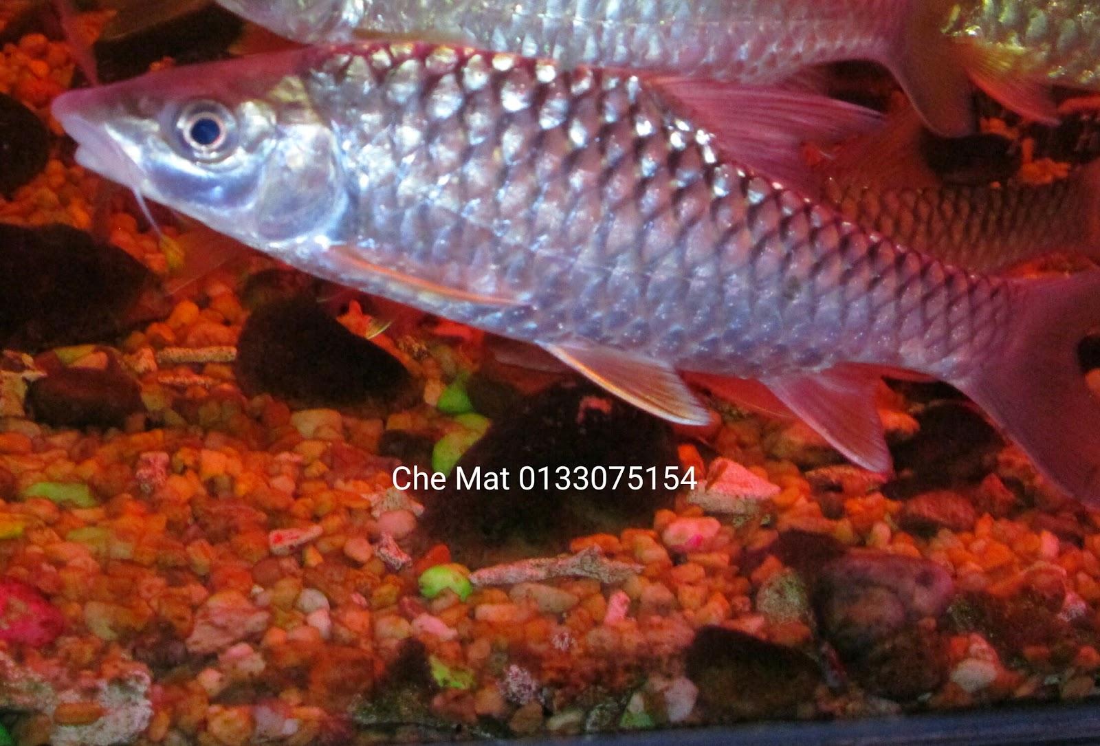 Ikan kelah bara lipan kelah bara lipan saiz 6 8 inci for Fish suitable for ponds