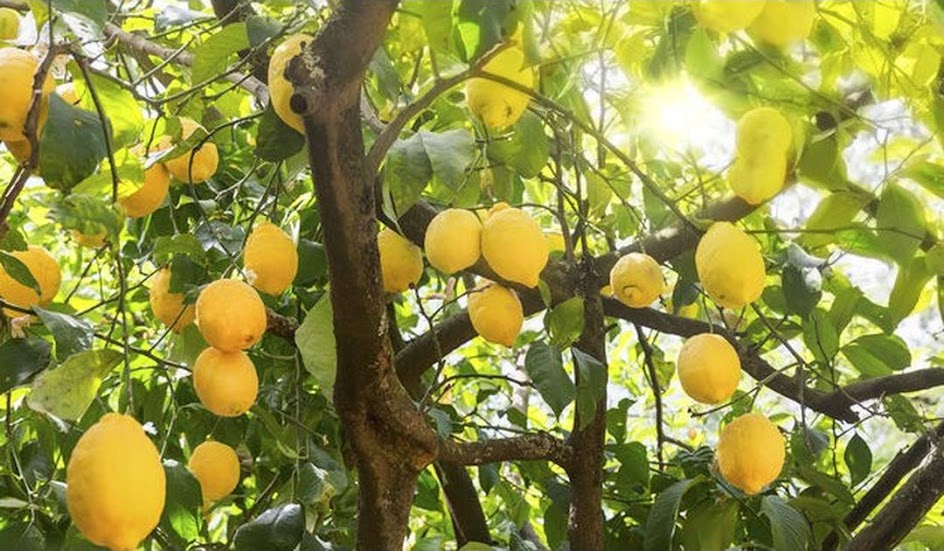 Bibit Tanaman Buah Jeruk Lemon Australia Lemon Unggul okulasi cepat berbuah Lemon Import Pekanbaru