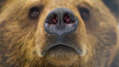 barna medve, medvetámadás, kilövési kvóták, nagyvadak, Románia, vadászat, állatvédők, trófeavadászat,