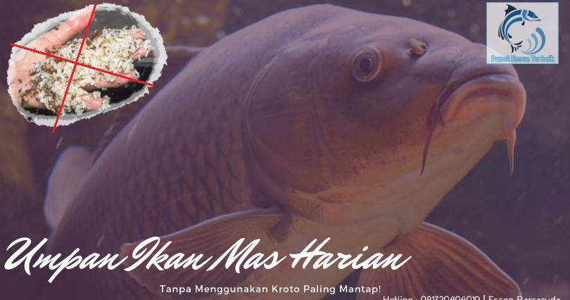 Cara Meracik Umpan Ikan Mas Harian Tanpa Kroto Paling Mantap Pusat Essen Terbaik