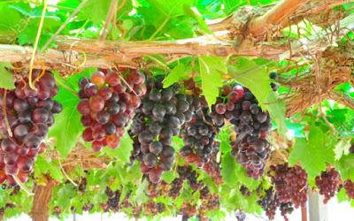 Gambar Buah Anggur di Pohon Foto Buah-Buahan Segar di Hutan