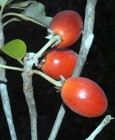 Memahami Tumbuhan SAWO KECIL( Tumbuhan KEBERUNTUNGAN)