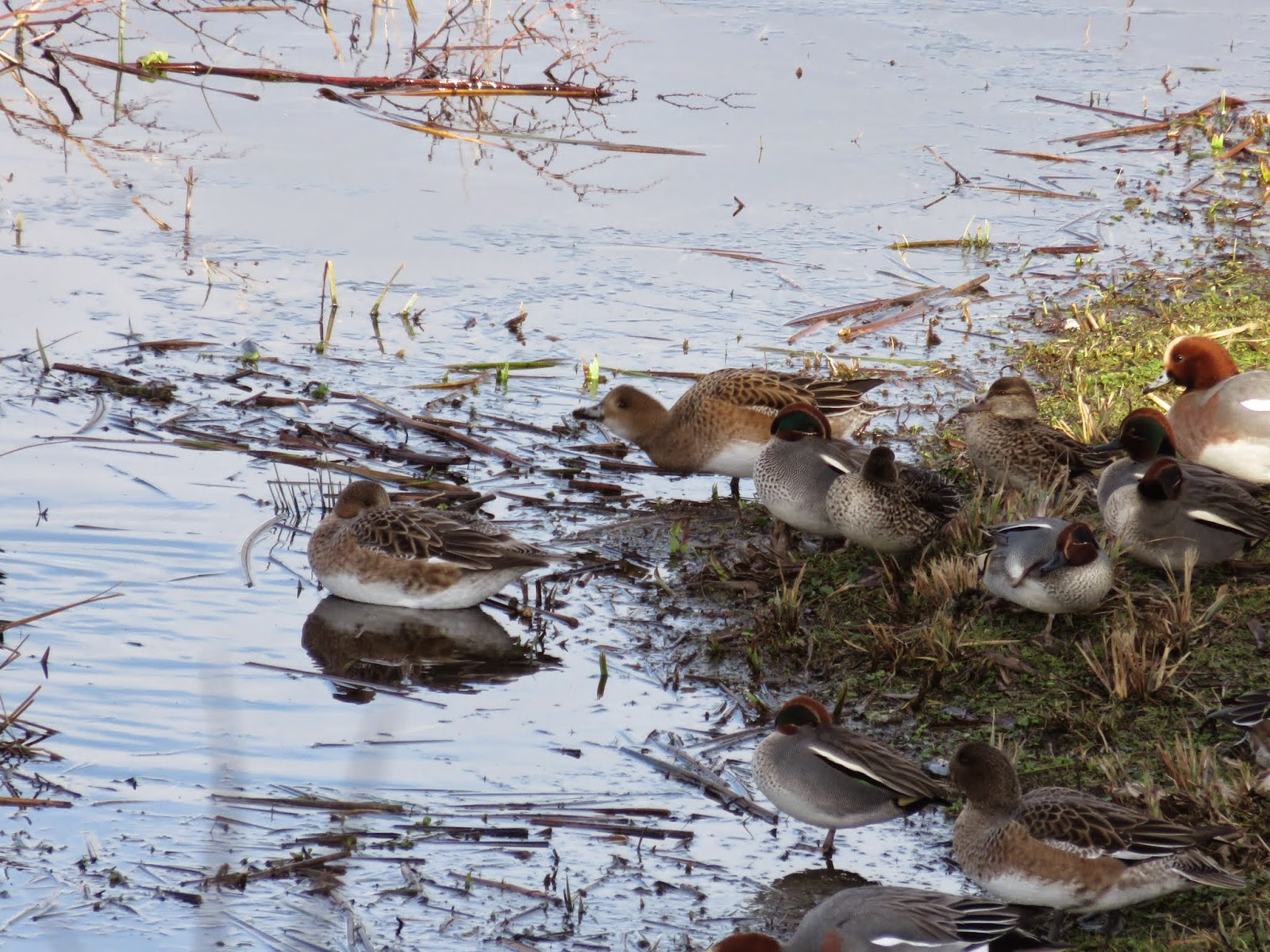 WWT London Wetland Centre: Wigeons