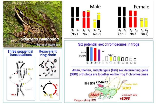 Frog species with 6 sex chromosomes offer new clues on evolution of complex XY systems
