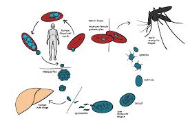 5 Hal Penting Yang Harus Anda Ketahui Tentang Malaria