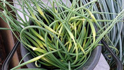 ニンニクの芽(花茎)。この数倍を収穫。