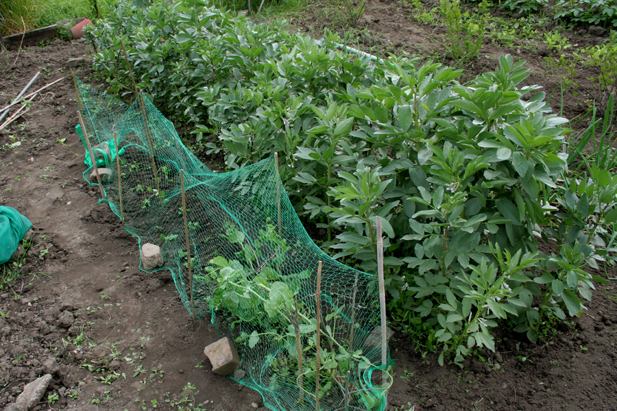 The Victory Garden Walthamstow June Broad Beans and Peas