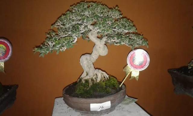 Bonsai pameran daerah ngawi