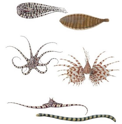 Mimic Octopus:Meet The Master of Disguise