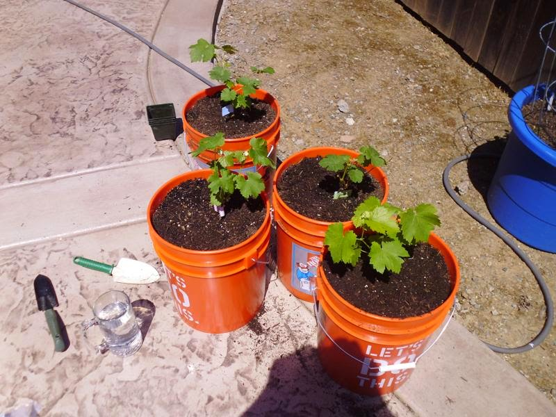 Transplanting grapevines completed