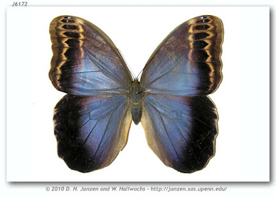 Mariposa lechuza (Caligo illioneus)