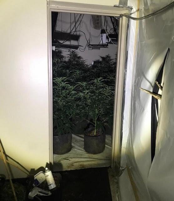 Due albanesi avevano allestito una fabbrica di cannabis da 1 milione di sterline nel centro della città britannica. Sindaco: siamo sorpresi ...